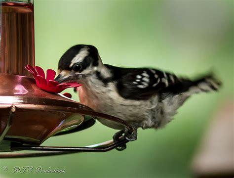 woodpecker at hummingbird feeder flickr photo