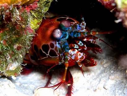 Shrimp Mantis Wallpapers
