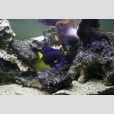Zebrasoma Xanthurus | 500 x 332 jpeg 33kB