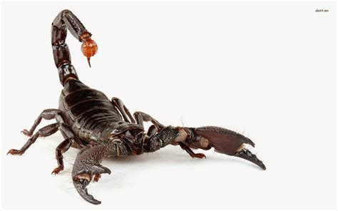 Scorpion Animal Wallpaper - black scorpion hd wallpapers hd wallpapers