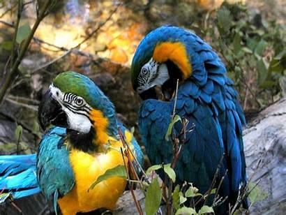Parrots Facts Parrot Habitat Diet