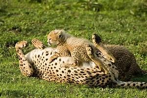 Mammals - Cheetah - Photografrica