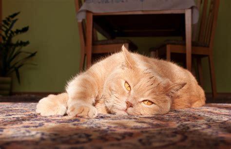 British Shorthair Ginger Cat