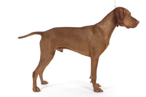 vizsla puppy shedding a lot are vizsla dogs hypoallergenic breeds picture