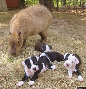 The gallery for --> Capybara With Dog