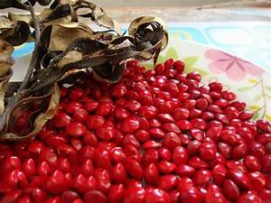 Adenanthera Pavonina Seeds Saga Coral Tree Red Sandalwood ...