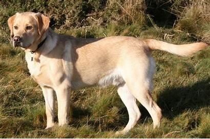 Labrador Retriever Breed History Dog Its Animalia