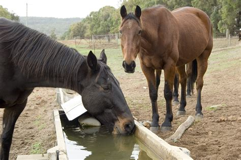 horses trough anthrax water strangles horse drinking livestock animals disease feeding z06 2289 dafwa food agriculture agric wa gov