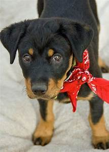 rottweiler mix puppies for sale zoe fans blog cute With rottweiler dog training