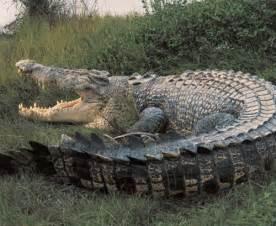 Nile #crocodile. #reptile | REPTILES | Pinterest ...