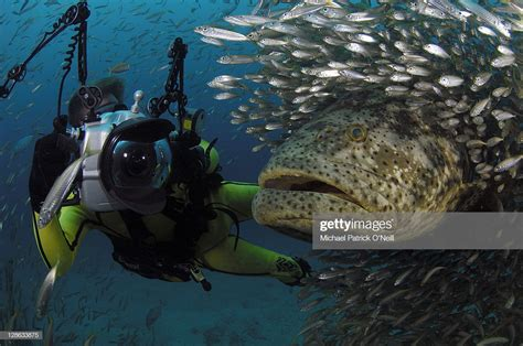 goliath grouper crowd giant which epinephelus surrounded cigar minnows predators smaller nearly 8ft jacks reaching atlantic species largest protection fish