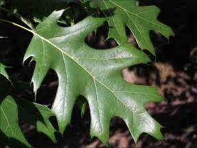 Red Oak Tree Leaf Identification