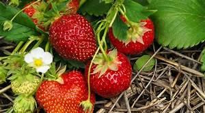 Erdbeeren Wann Pflanzen : gartentipps kleine tipps f r deinen garten ~ Frokenaadalensverden.com Haus und Dekorationen