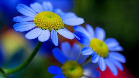 Blue Yellow Flowers Petals Nature Hd Wallpaper Download