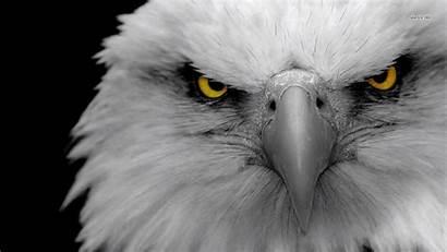 Eagle Bald Resolution Widescreen Eyes Iphone Wallpaperscreator