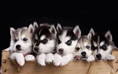 Huskies Husky Puppies Desktop Miniature