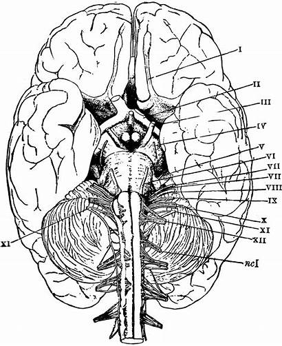 Brain Anatomy Coloring Pages Physiology Printable Sheets