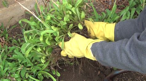 splitting shasta daisies experiential gardener fall is the time to divide and transplant perennials