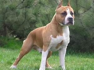 Pitbull Dog White And Brown
