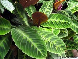 Plante Verte Salle De Bain : famille des marantac es marantaceae ~ Melissatoandfro.com Idées de Décoration