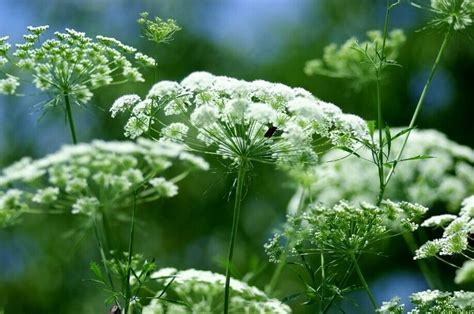 small white flowers groot akkerscherm witte dille of kantbloem ammi majus