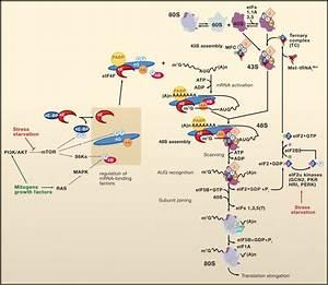 Regulation Of Translation Initiation In Eukaryotes