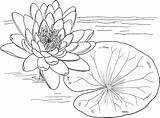 Water Coloring Lily Pages Printable Onlinecoloringpages sketch template