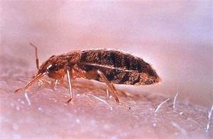 bed bug cimex lectularius With bed bugs australia