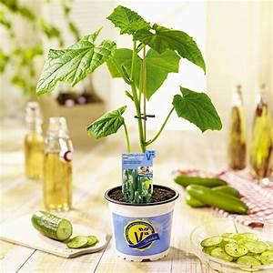 Mini Gurken Pflanzen : gemuese gurken mini schlangengurke printo volmary plant happy ~ Buech-reservation.com Haus und Dekorationen