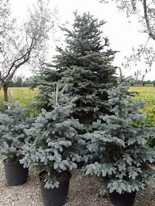 Produzione abeti bianchi e rossi a treviso, alberi di