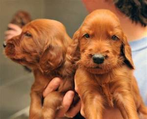 20 Irish Setters Including 10 Puppies Given Up For