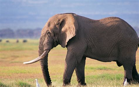 Elephant art Wallpapers Pictures Bull elephant