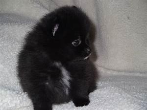 Pomeranian Black Bear | www.pixshark.com - Images ...