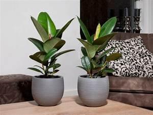 Plante Tropicale D Intérieur : 4 conseils pour votre ficus elastica le pouvoir des fleurs ~ Melissatoandfro.com Idées de Décoration