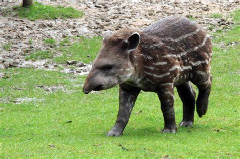 world tapir day alis answers
