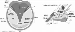 Horse Hoof Anatomy Diagram
