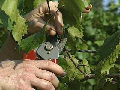 grape vines pruning when to do it and how by and for the gospel john 15 1 6 which branch are you