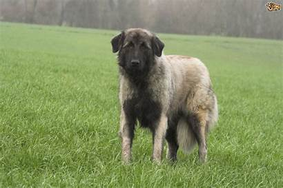 Dog Mountain Estrela Breeds Uncommon Dogs Pets4homes