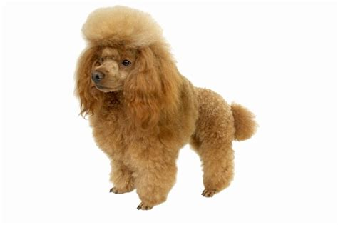 hybrid dogs   long  purebred dogs pets