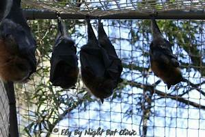 BATS OF VICTORIA Fly By Night Bat Clinic Inc