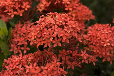 common flowering shrubs ixora coccinea or jungle geranium flame of the woods and jungle flame is a common flowering