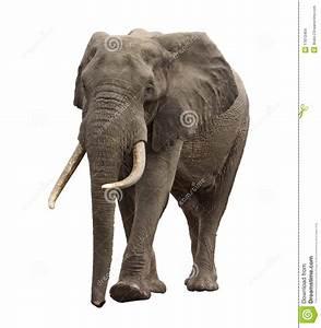 Elephant Walking Front View Stock Photo - Image: 17813464