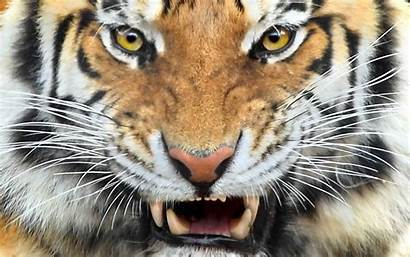 Wild Animals Tigers Tiger Wallpapers Cats Cat