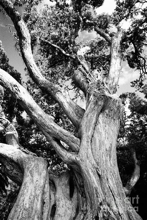 Black And White Tree Photograph by Gaspar Avila