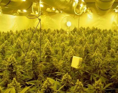 meilleur rendement cannabis interieur les meilleures les de culture de marijuana