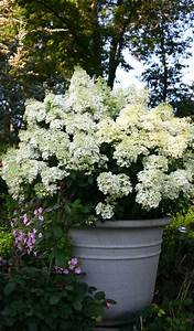 Hydrangea Paniculata Bobo : 25 b sta bobo hydrangea id erna p pinterest ~ Michelbontemps.com Haus und Dekorationen