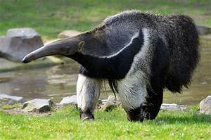 Do Anteaters Eat Only Ants? | Wonderopolis
