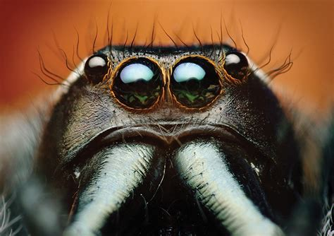images jumping spider spiders eyes bagheera kiplingi macro