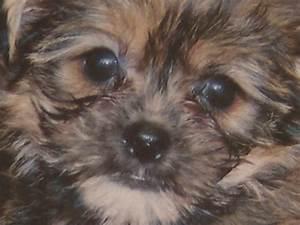 Dark Brown Maltese Puppies | www.imgkid.com - The Image ...