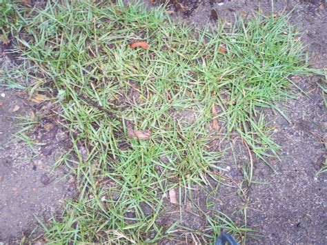 Is This Bermuda Grass Or A Weed? (lawn, Landscaping